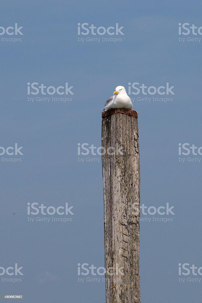 Seagull resting on mooring pole stock photo