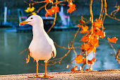 A seagull rests in the sunset light on the balustrade of Ponte Sisto, in the Trastevere quarter in the heart of Rome. Image in High Definition format.