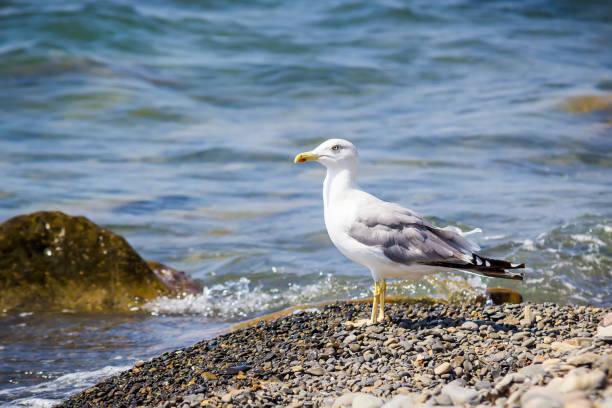 seagull, sea and stones beach - uccello marino foto e immagini stock