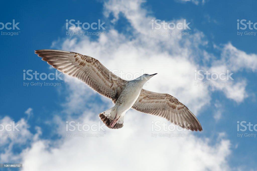Seagull - Sea Bird