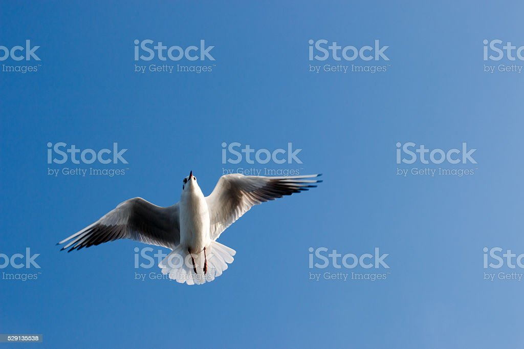 Sea bird flying with clean blue sky