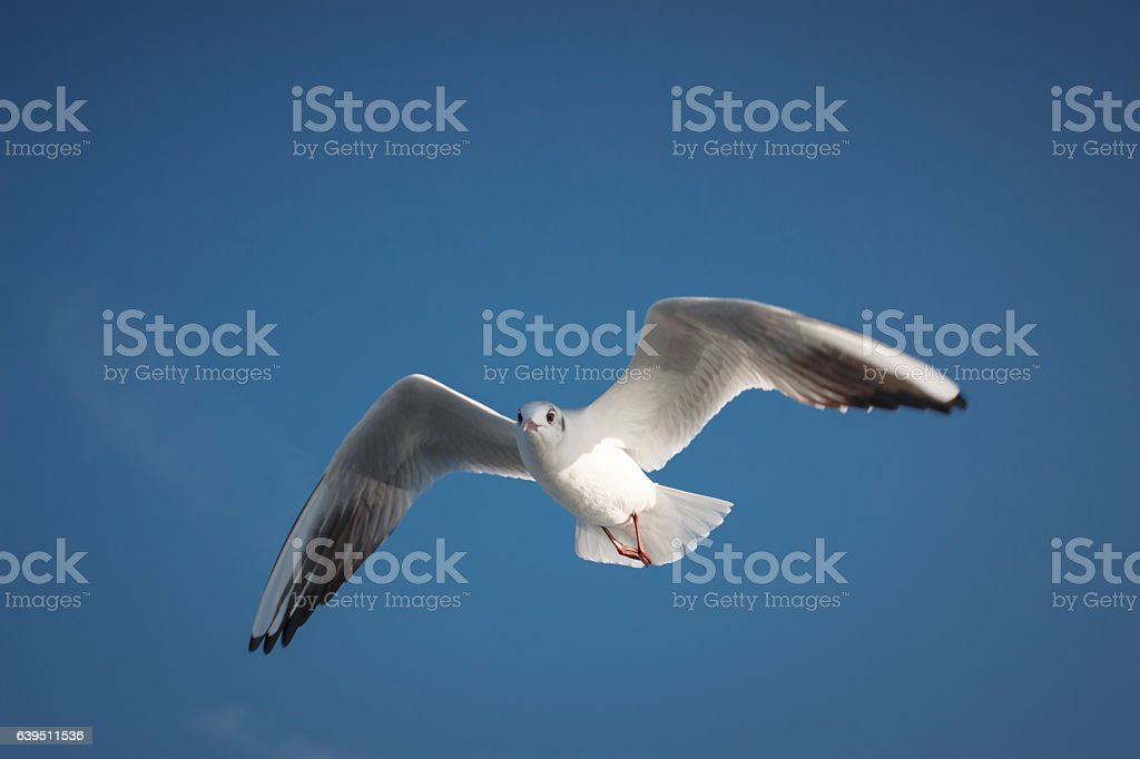 Seagull - Sea Bird