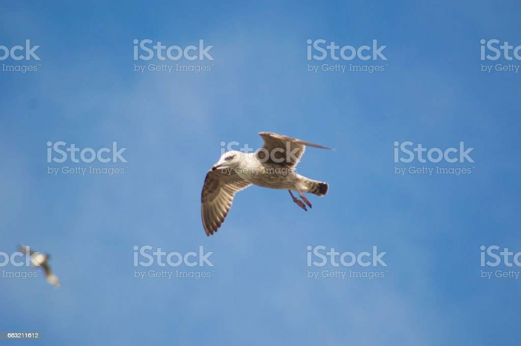 Seagull showing off stock photo