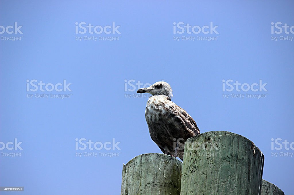 Seagull Sits on Dock Pilings stock photo