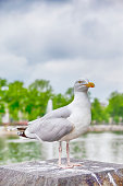 Seagull Sitting in Front of Binnenhof Palace of Parliament inThe Hague in The Netherlands At Daytime. Vertical image