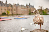 Seagull Sitting in Front of Binnenhof Palace of Parliament inThe Hague in The Netherlands At Daytime. Horizontal Image