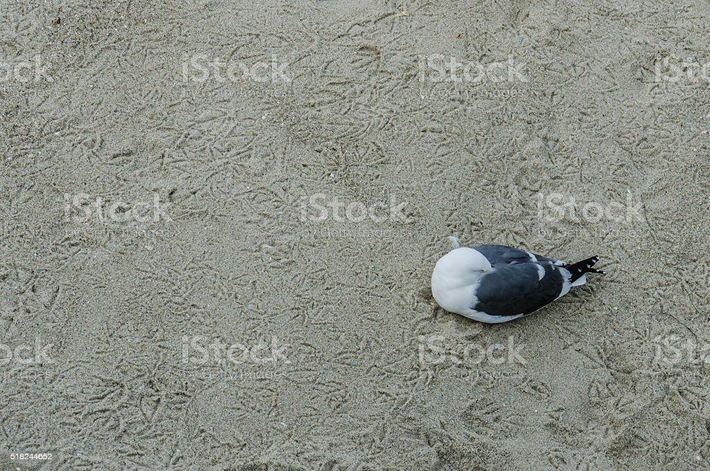 Seagull sleeping on beach covered with bird footprints