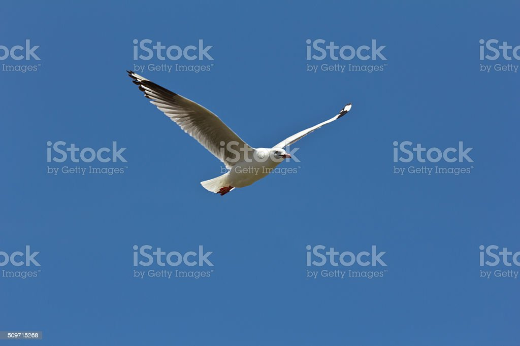 Seagull soaring above the Nobbies stock photo