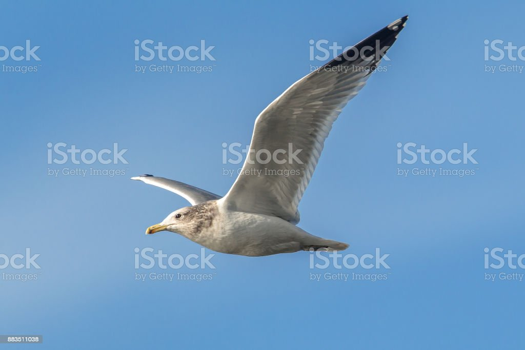 Seagull soars in the sky. stock photo