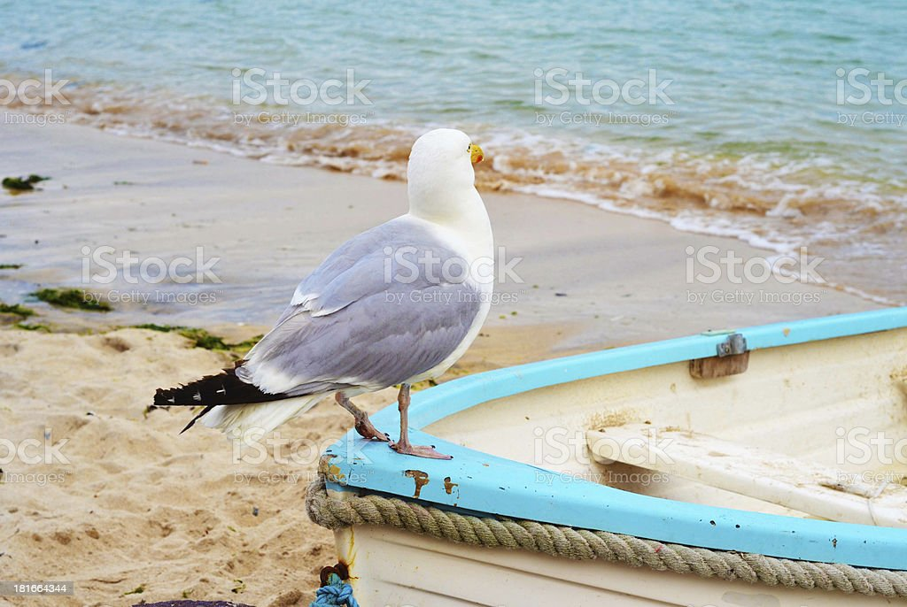 Seagull St Ives royalty-free stock photo