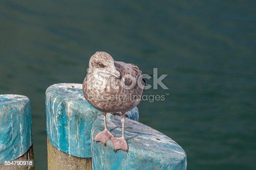 Seagull Standing on Harbor Pillar Looking Right