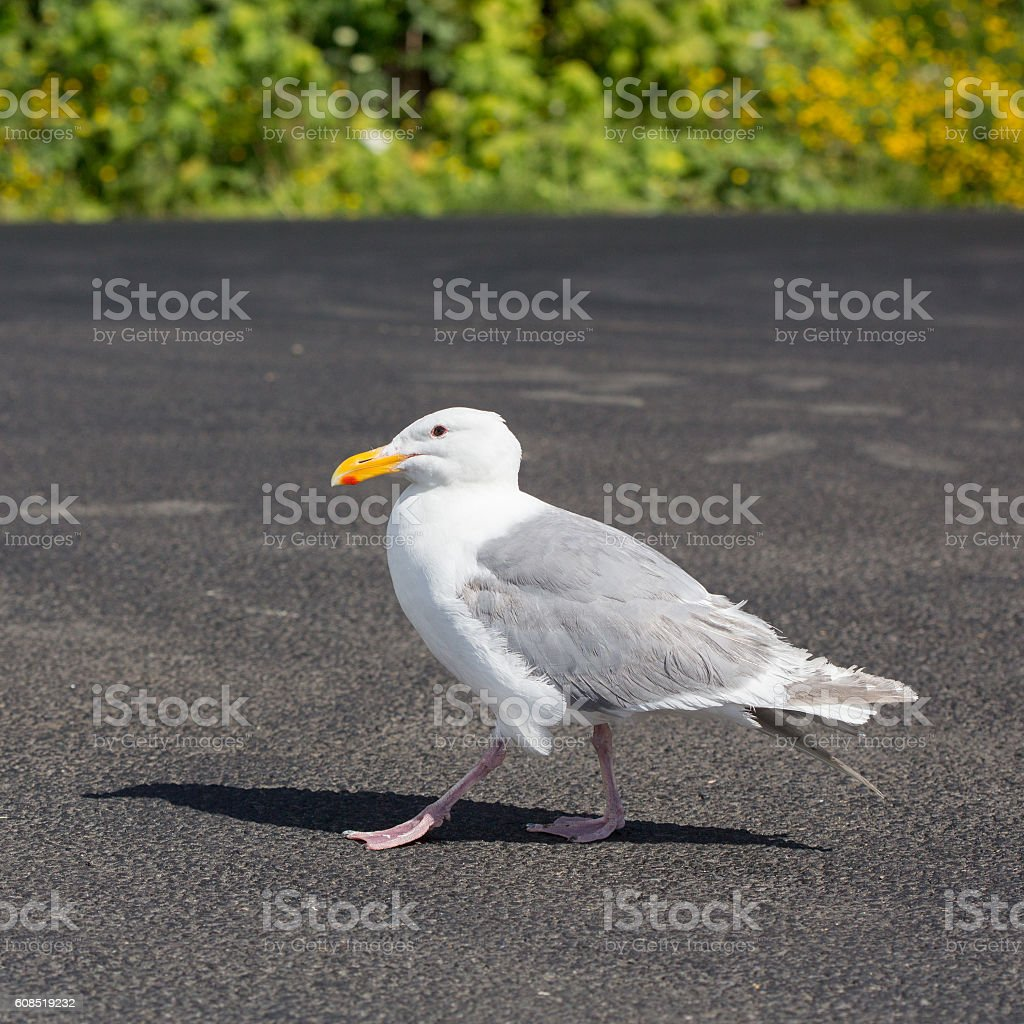 Seagull Standing on Pavement stock photo