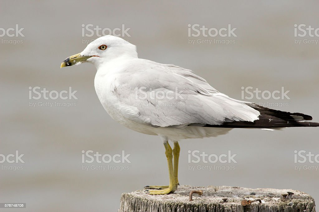 Seagull standing on Pier stock photo
