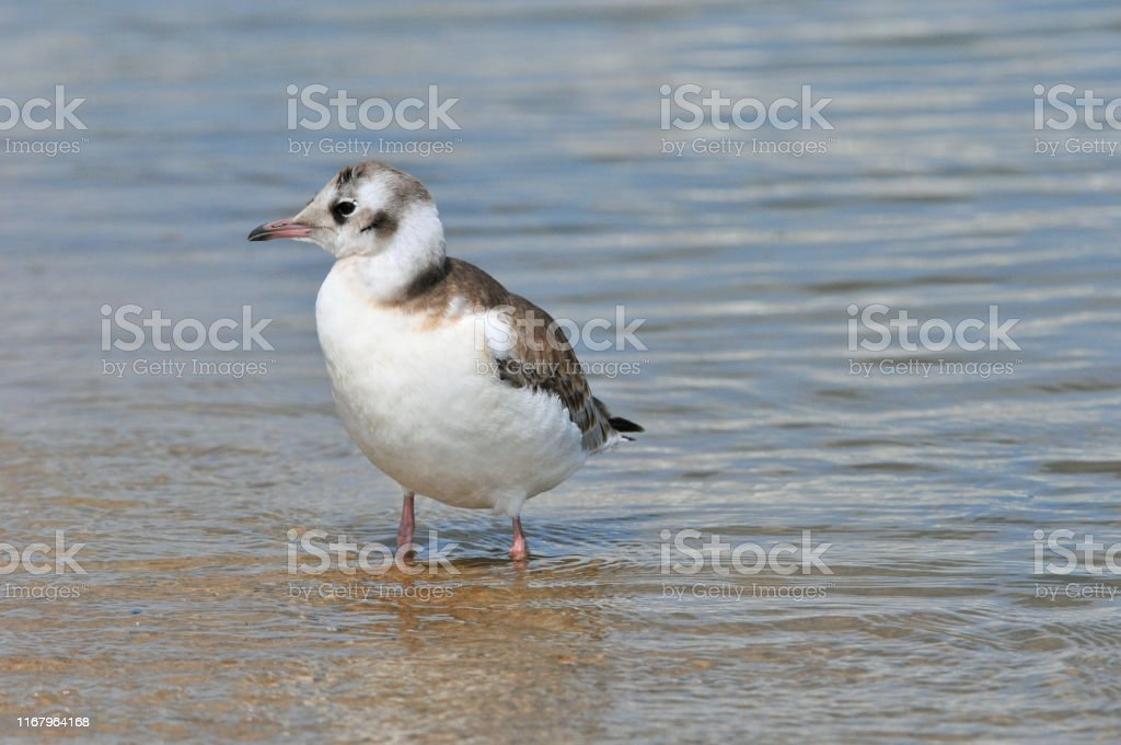 A seagull stands on a river beach. Black headed gull, young bird.