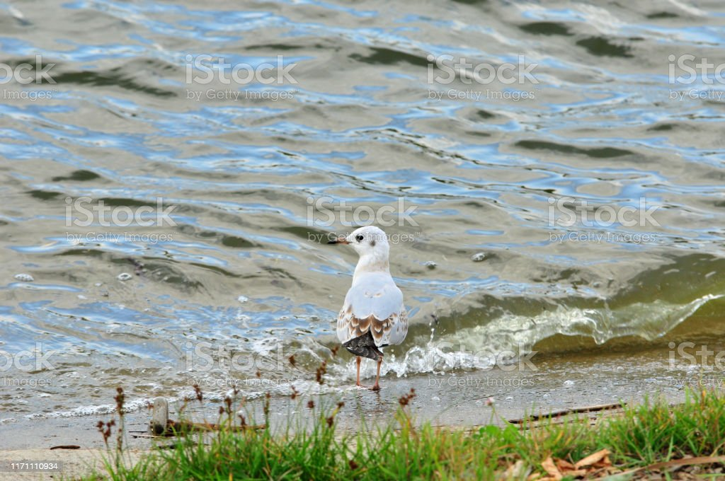A seagull stands on a river beach. Black-headed gull, bird. Young...