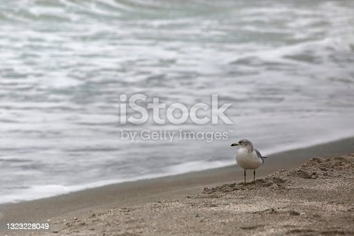 istock Seagull Stares Out to Sea on Longboat Key 1323228049