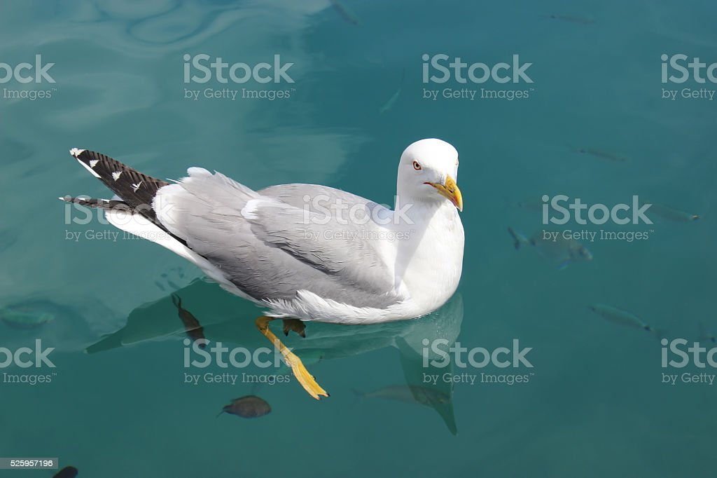 Seagull Swimming with the Fish stock photo