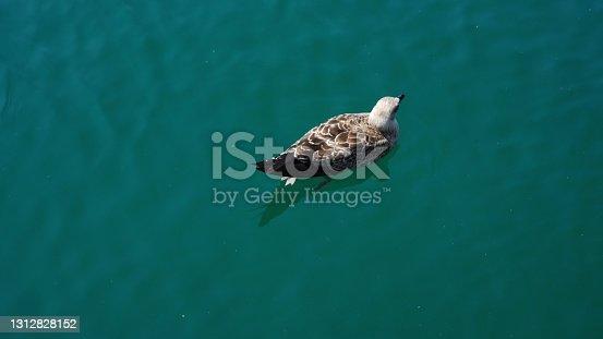 istock seagull swims in sea shining under sun rays on summer day 1312828152