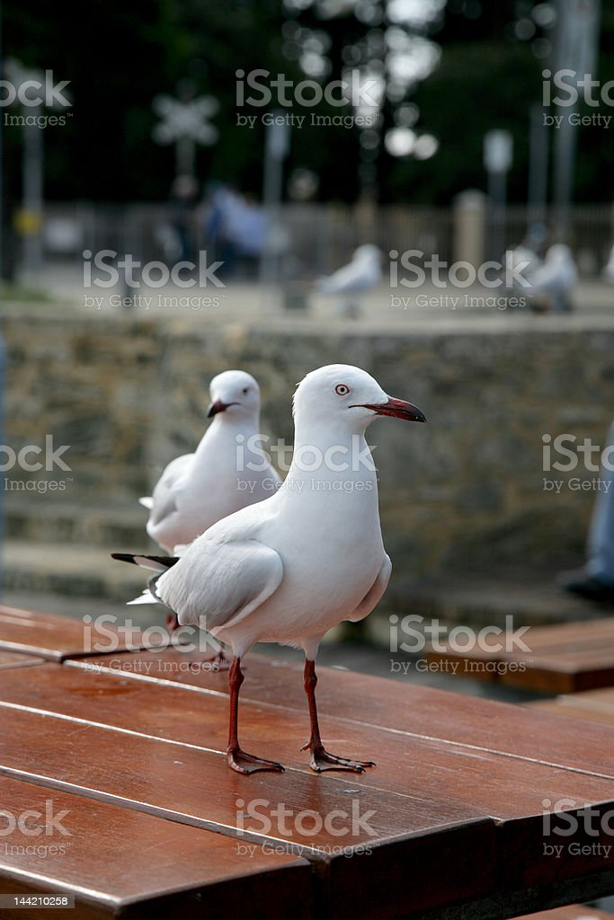 Seagull Table royalty-free stock photo