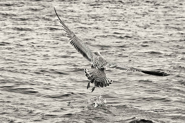Seagull Takes Flight from the Sea stock photo