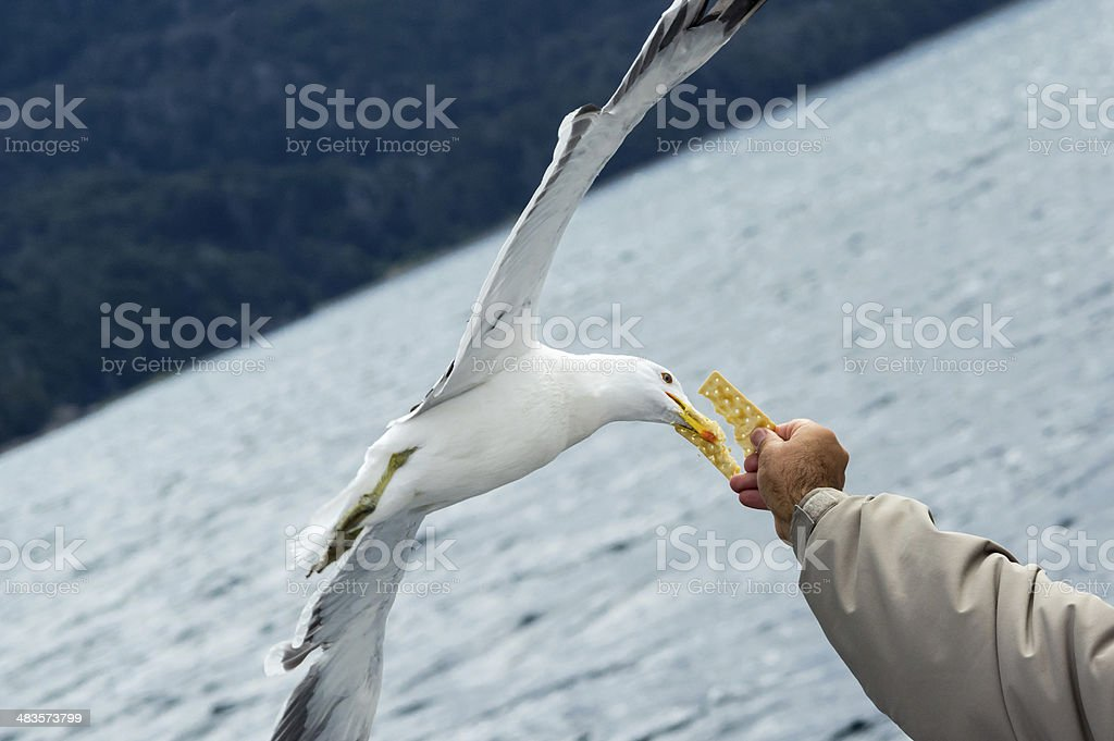 seagull taking food from hand royalty-free stock photo
