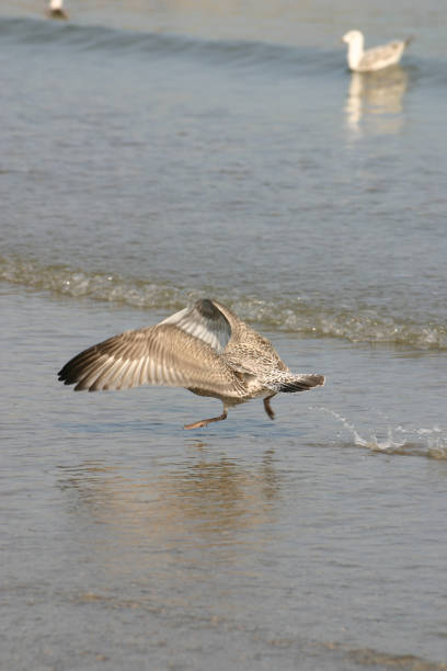 Seagull taking off stock photo