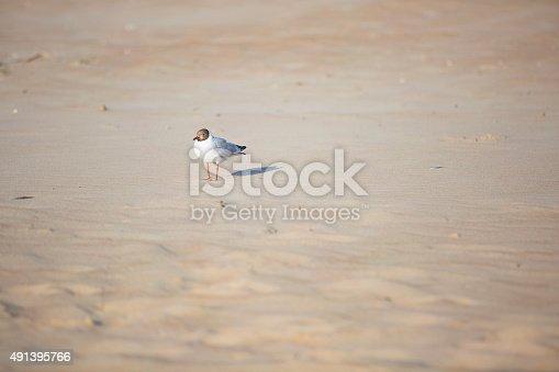 seagull walk on the sand of sea beach