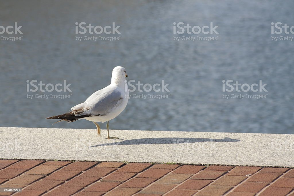 Seagull Walk royalty-free stock photo