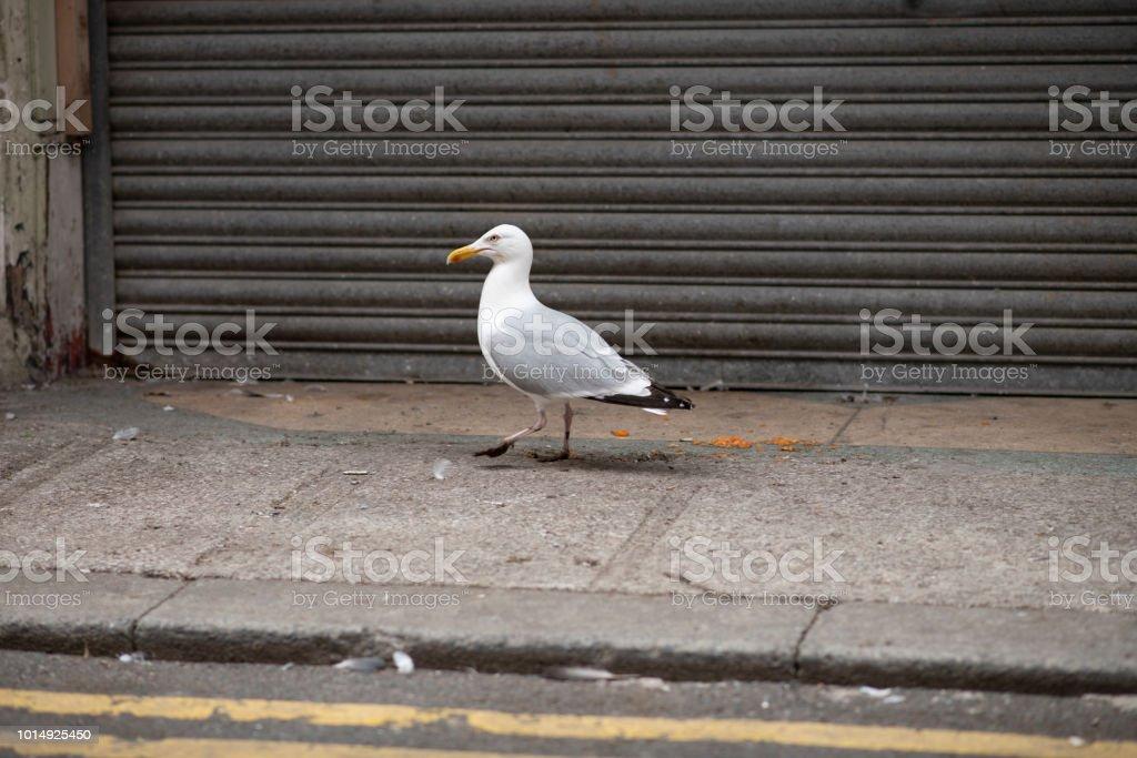 Seagull walking along the pavement along a grungy street. stock photo