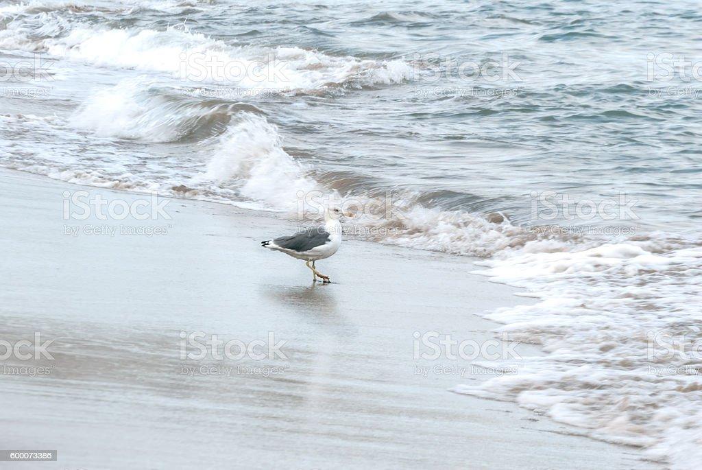 Seagull walking between waves stock photo