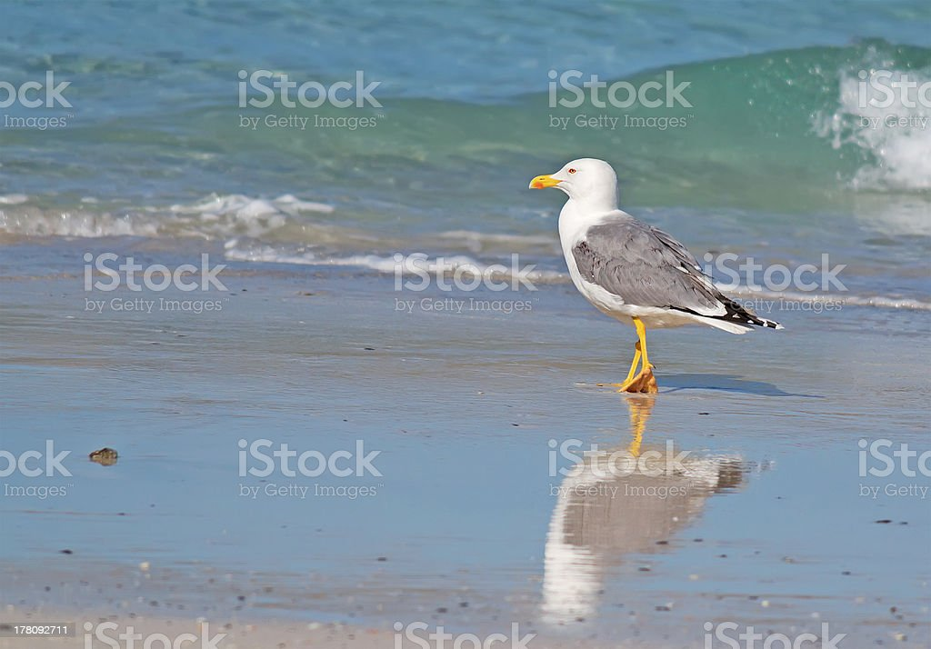 seagull walking by the foreshore royalty-free stock photo