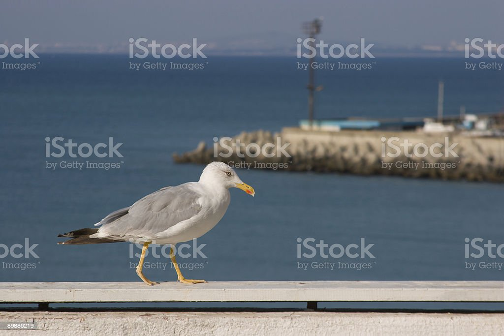 Seagull walking by the sea royalty-free stock photo
