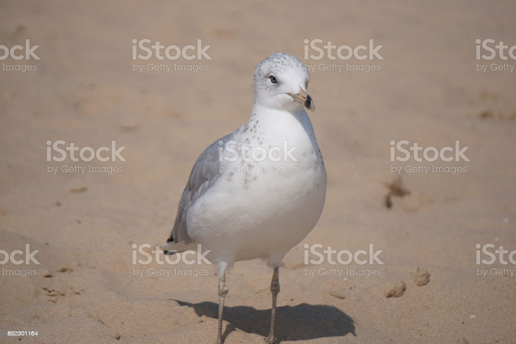 Seagull walking on sand stock photo