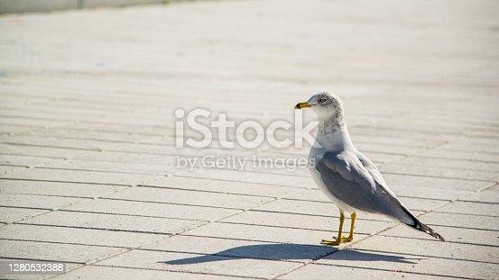 Montreal, Canada - Oct. 10 2020: Seagull wandering in Jean Drapeau Park