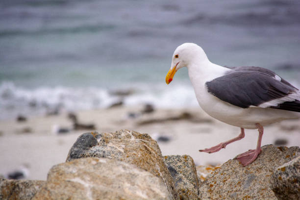 Seagull watches his step in Pebble Beach stock photo