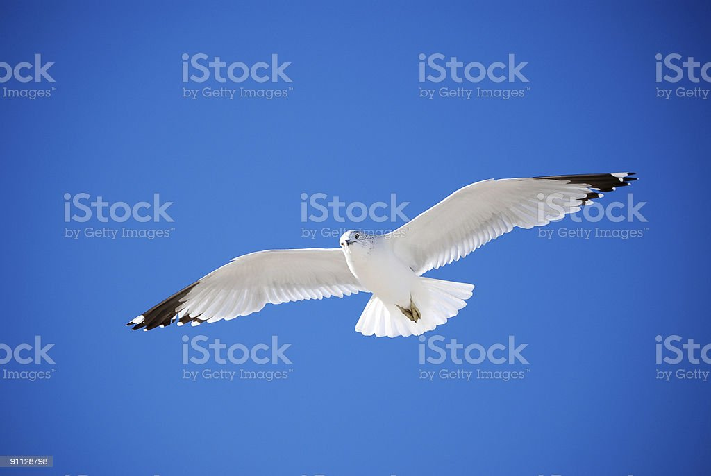 Seagull with full wingspan. stock photo