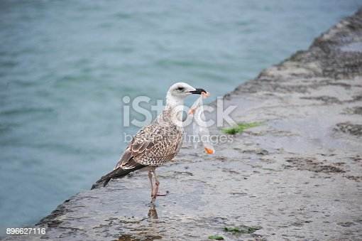 istock Seagull with plastic bag 896627116