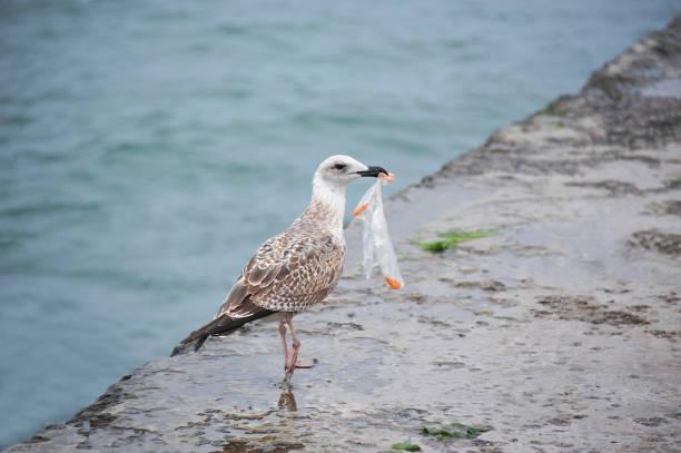 seagull with plastic bag - uccello marino foto e immagini stock