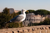 Seagull with the Coliseum of Rome as a background