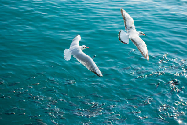 Seagulls and a shoal of fish. stock photo