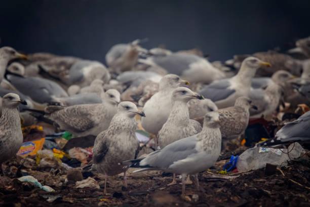 seagulls and city garbage - uccello marino foto e immagini stock