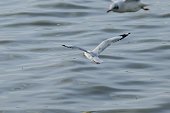 Seagulls are flying over the sea. Like flying around the coast or river