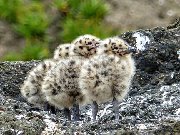 seagulls babies - uccello marino foto e immagini stock