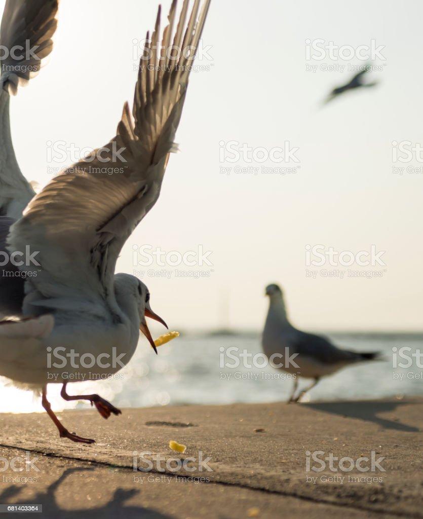Seagulls catching the fried potato royalty-free stock photo