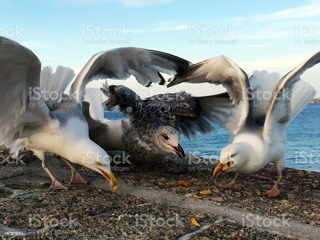 Seagulls eating chips on a wall by the sea stock photo