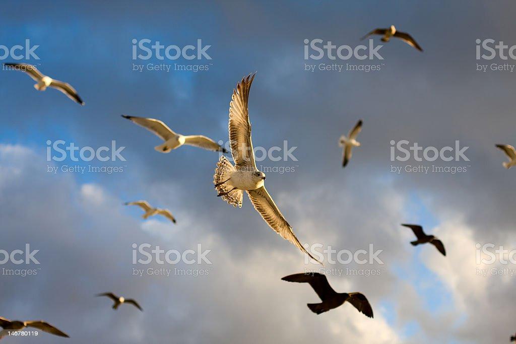 Seagull's Flight stock photo