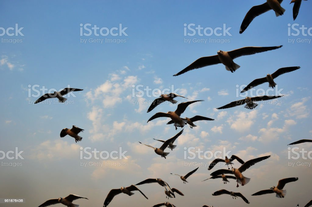 Large flock of seagulls bird flying in the sky.