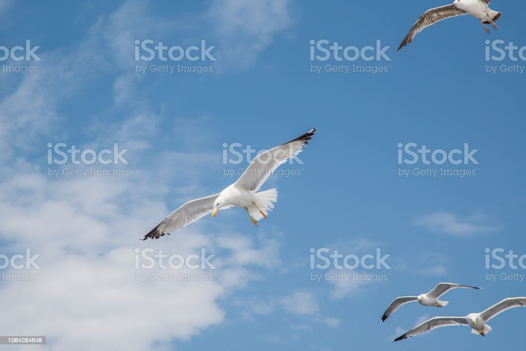 Flock of flying seagulls