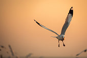 istock seagulls flying freely on the sky at sunset 642385020