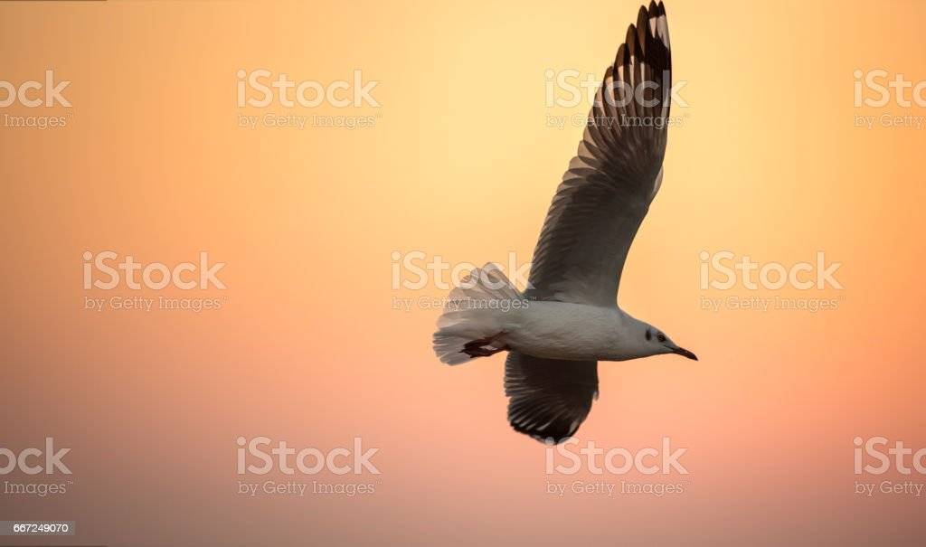 seagulls flying freely on the sky at sunset, leadership, closeup,...